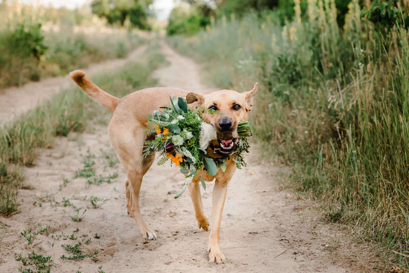 Ein Hund hat einen Blumenstrauß im Maul und läuft damit auf die Kamera auf einem sandigen Weg entlang.